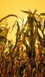 Maïs ensoleillé Image libre de droits