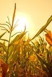 Maïs ensoleillé Image stock