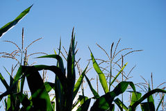 Maïs et ciel Photos libres de droits