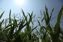 Maïs et ciel bleu Photo stock