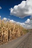 Maïs et cieux Photographie stock