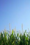 Maïs et copie Photos stock