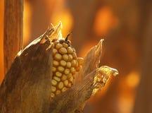 Maïs et cosse Images stock