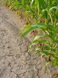 Maïs et sécheresse Photographie stock libre de droits