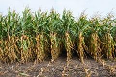 Maïs fourrager partiellement moissonné de fin Images stock