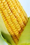 Maïs frais sur le bleu Photo stock