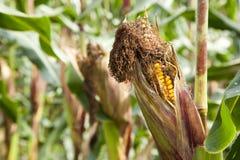 Maïs gâté Image libre de droits
