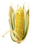 Maïs, graan Stock Foto's