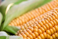 Maïs jaune brut avec les feuilles vertes images stock