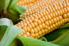 Maïs jaune brut avec les feuilles vertes image stock