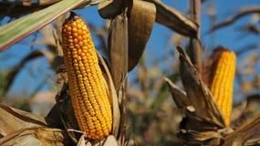Maïs Klaar voor Oogst Stock Afbeeldingen