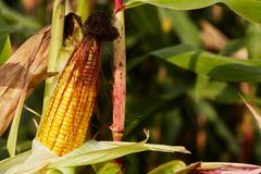 Maïs mûr Image libre de droits