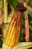 Maïs mûr Photos stock