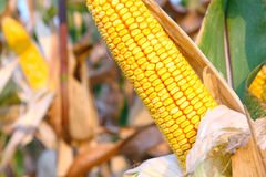 Maïs mûr Images stock