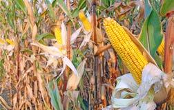 Maïs mûr Photographie stock libre de droits