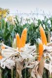 Maïs organique Photo stock