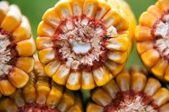 Maïs organique sain Photo libre de droits