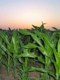 Maïs pendant un â 1 de lever de soleil photos libres de droits