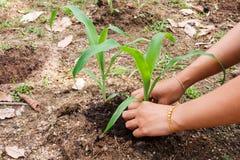 Maïs planté Photographie stock