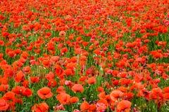 Maïs Poppy Field Images libres de droits