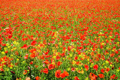 Maïs Poppy Field Photo stock