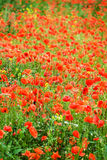 Maïs Poppy Field Image stock