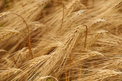 Maïs pour sur le champ Photos stock