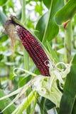 Maïs pourpre sur l'épi. Photos stock