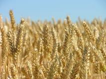 Maïs prêt pour la moisson images stock