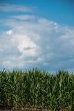 Maïs presque prêt pour le maïs éclaté Photos libres de droits