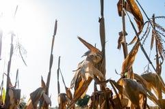 Maïs sec Photos stock
