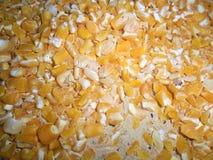 Maïs sec consommé par des charançons photo libre de droits