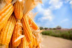 Maïs sec dans le domaine images libres de droits