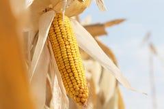 Maïs sec sur la tige Photographie stock libre de droits