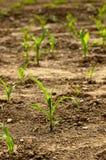 Maïs seeding02 Royalty-vrije Stock Fotografie