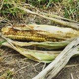 Maïs seul Photo stock