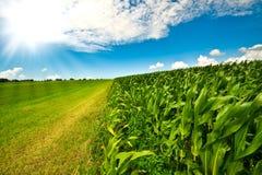 Maïs sur des terres cultivables en été Images stock