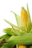 Maïs sur l'épi Images libres de droits