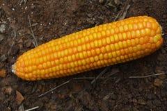Maïs sur la terre Photos stock