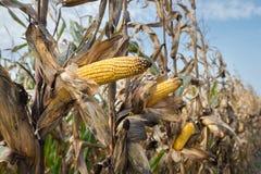 Maïs sur la tige Photos libres de droits