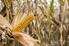 Maïs sur la tige dans le domaine photo libre de droits
