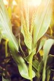 Maïs sur le champ de ferme Photographie stock