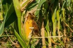 Maïs sur le champ, sécheresse dans les domaines de peu de récolte images libres de droits