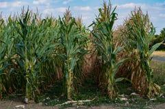 Maïs sur le champ, sécheresse dans les domaines de peu de récolte photos libres de droits
