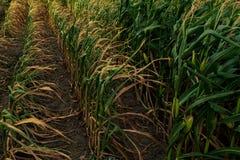 Maïs sur le champ, sécheresse dans les domaines de peu de récolte image libre de droits