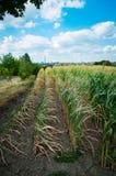Maïs sur le champ, sécheresse dans les domaines de peu de récolte photo libre de droits