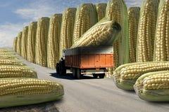 Maïs transgénique Images stock