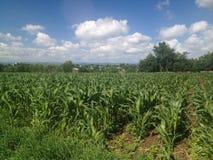 Maïs vert Photos libres de droits