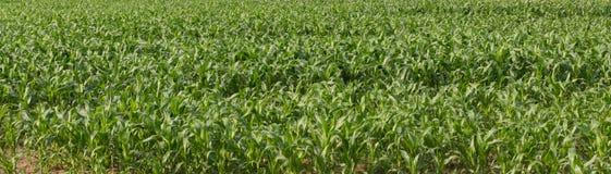 Maïs vert frais vert de jardin dans la ligne de temps Photo stock