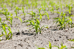 Maïs vert Ressort Image stock